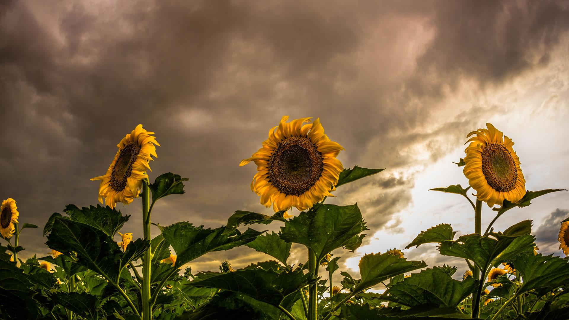Brian-Ingram-Sunflowers