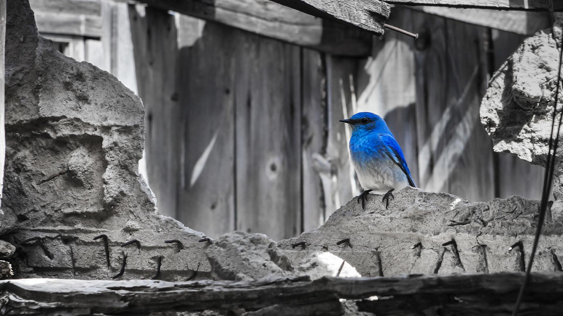 Gabrial-Reising-Bluebird